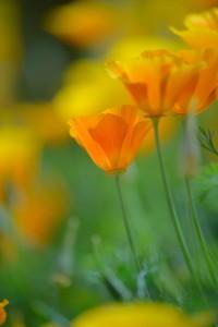ハナビシソウ|春、待ち遠しく